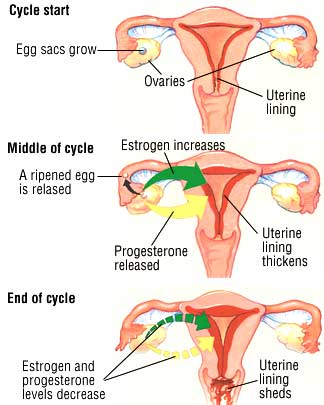 how-to-get-pregnant-ovulation-cycle