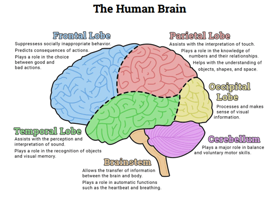 human-brain-healthlove-in