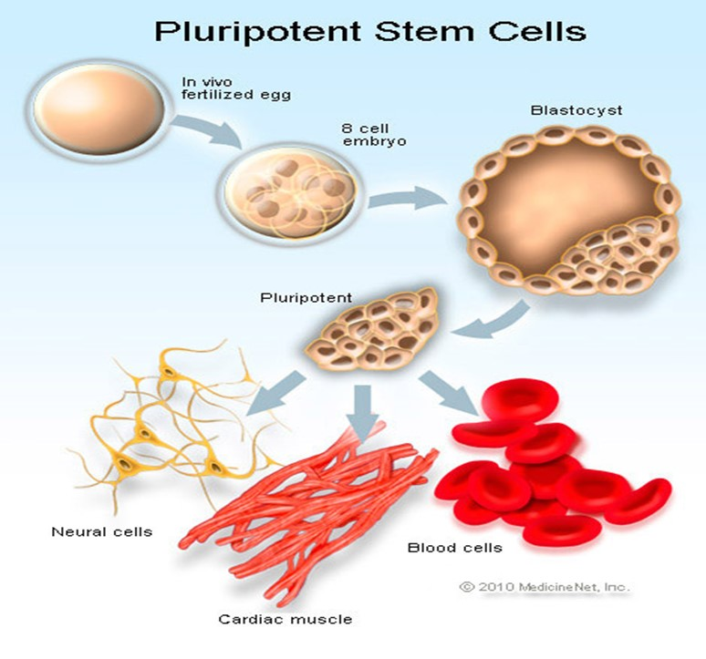 myths embryonic stem cell research Pros and cons of stem cell research - understand the positive and negative effects of this research learn about adult cells, cord cells, and embryonic cells.