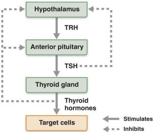 Functioning of Thyroid - Thyroid storm attack
