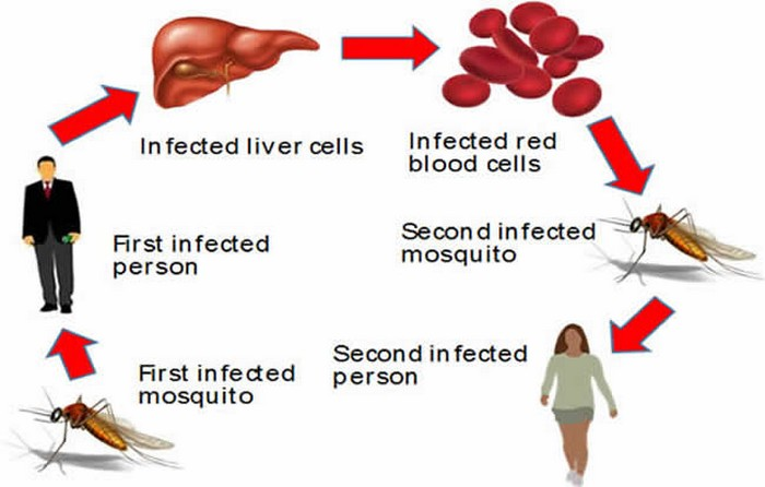 Malaria infection cycle