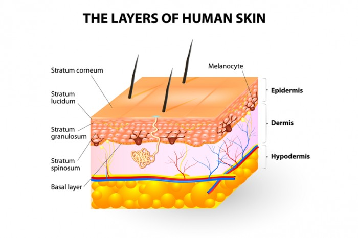 The three main layers of the skin