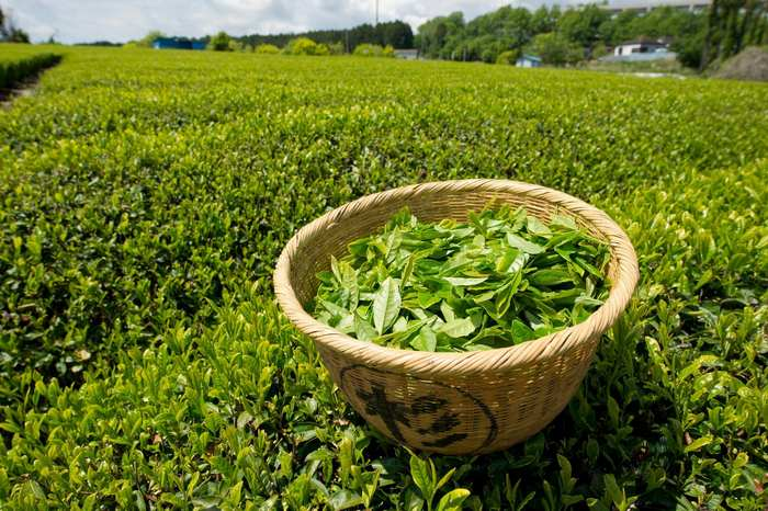 green tea for weight loss-benefits