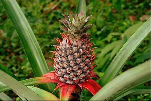 Pineapple - Best Food For Hair Growth in India - Hair Growth Fruits